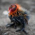 Малка белочела водна кокошка (Fulica atra) ; comments:149