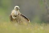 Белоглав лешояд сред тревата ; comments:34
