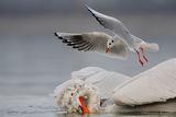 Къдроглавко и една нетърпелива чайка ; comments:60