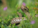 Nose-horned Viper ; Comments:26