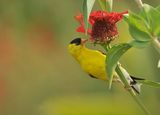 goldfinch ; comments:26