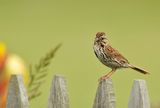 Melospiza melodia, Song sparrow ; comments:28