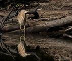 Огледален свят. Малък воден бик / Ixobrychus minutus /. ; comments:7