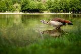 Египетска гъска пие вода ; comments:11
