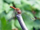 Разнокрили водни кончета / Odonata Anisoptera ; comments:5