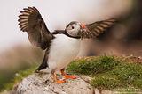 Норвежки папагал рибояд :-) ; comments:40