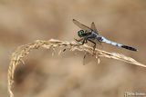 Orthetrum albistylum ; comments:8