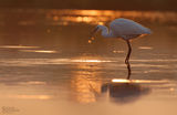 Малка бяла чапла (Egretta garzetta)-изгревно ; comments:42