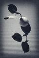 Елегантността при двулистните круши! ; comments:45