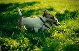 Jack Russels ; comments:4