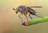 Dolichopus angulatus ; comments:15