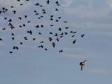 Вечерна ветрушка, атакувана от ято скорци ; comments:10