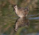 Воден дърдавец (Крещалец),/Rallus aquaticus/. ; comments:13