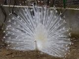white Peacock - Бял Паун 2 ; comments:3