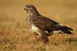 buzzard portrait ; comments:15