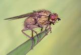 Scatophaga Stercoraria ; comments:3