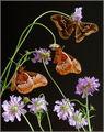 Копринени Пеперуди ; comments:9