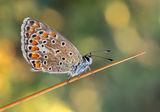 Polyommatus ; comments:9