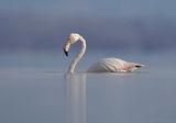 Лебедово фламинго ; comments:43