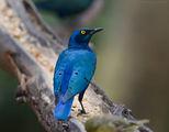 Блестящ скорец/ Glossy starling ; comments:40