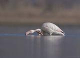 Обикновено фламинго ; comments:25