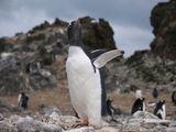 Papua penguin ; Comments:5