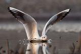 Речна чайка ; comments:25