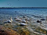 лебеди ; comments:13