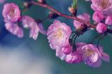 Японска череша ; comments:31