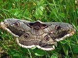 Нощна пеперуда съм - оставете ме да спя! ; comments:4