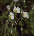 (Бяла сасънка (Анемония)  - Кайлъшка) ; comments:32