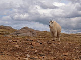 Wild Goat ; Comments:34