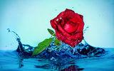 водна роза ; comments:2