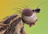 Pherbellia cinerella ; Comments:17