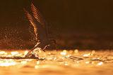 Златната рибка ; comments:96