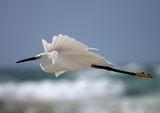 Малка бяла чапла в полет ; comments:22