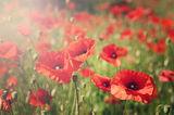 Poppys ; comments:29