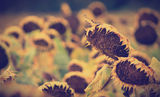 Sunflowers ; comments:45
