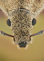 Curculionidae : Extreme portrait ; comments:6