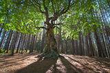 Дървото на Белинташ ; comments:33