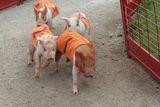 Свинска кушия ; comments:6