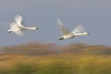Поен лебед (Cygnus cygnus) ; comments:49