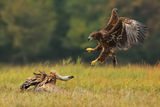 Vulture vs Eagle ; comments:33