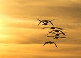 Неми лебеди на залез ; comments:40