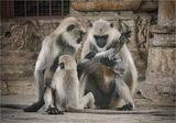 Храмът на маймуните- Агра форт-Раджастан ; comments:52