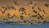 белочели гъски ; comments:26