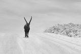 The Alpine Ibex ; comments:48