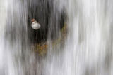dipper (cinclus cinclus) behind a waterfall. ; comments:32