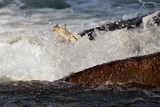 Прелетни риби ; Comments:6