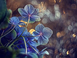Blue Hydrangeas ; comments:46
